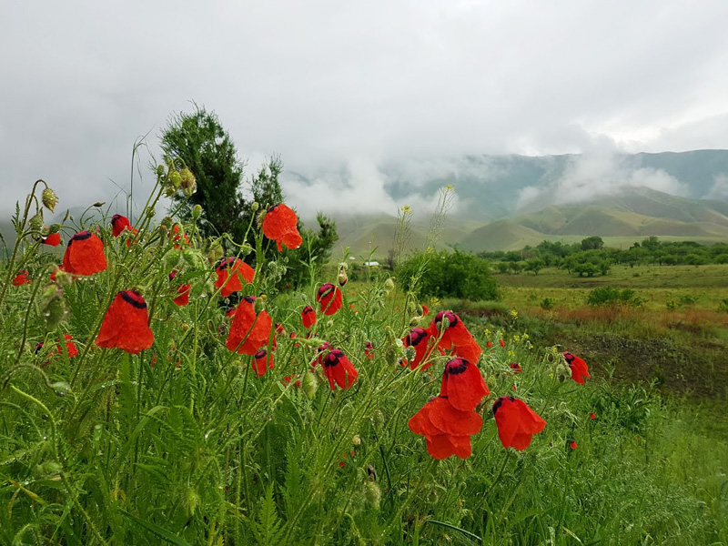 Poppies in the Toktogul reservoir