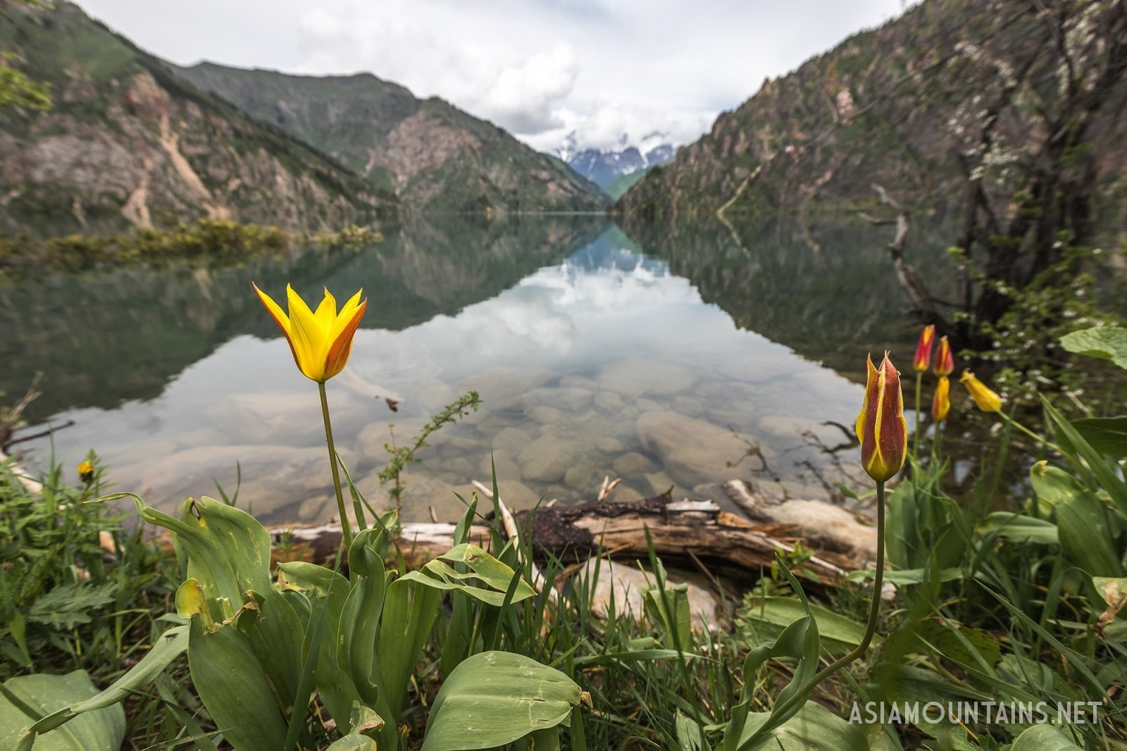 >Tulips at Sary-Chelek lake